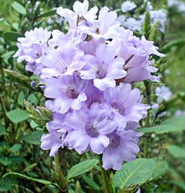 Photo of Purple Kurinji Flowers