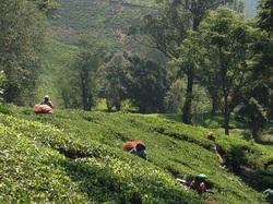 Photo of A Tea Plantation