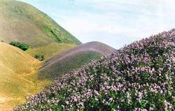 Photo of Kurinji Flowers in a Landscape Setting