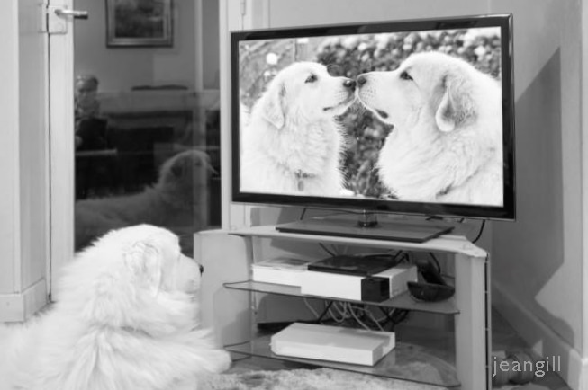 Photo of dog watching TV