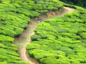 Image of a Tea Plantation Landscape